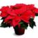 Poinsettia flower pot